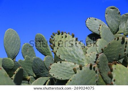 Prickly pear cactus (opuntia ficus-indica, also known as Indian fig opuntia, barbary fig, spineless cactus, cactus pear) - stock photo