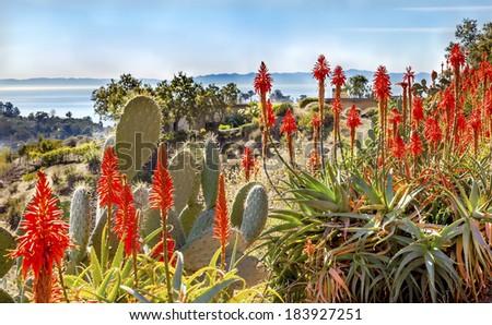 Prickly Pear Cactus Opuntua Ficus-Indici Orange Aloe Arborescens Cactus Flowers Morning Pacific Ocean View East Mountain Road Channel Island Santa Barbara California - stock photo