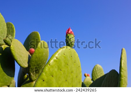 Prickly pear cactus pink flower (Opuntia ficus-indica, also known as Indian fig opuntia, barbary fig, cactus pear, spineless cactus) in blossom - stock photo
