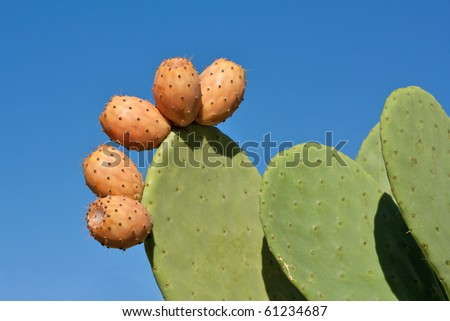 Prickly pear cactus plant and fruit against blue sky. - stock photo