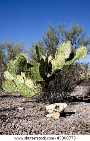 Prickly pear cactus with javalina skull in foreground