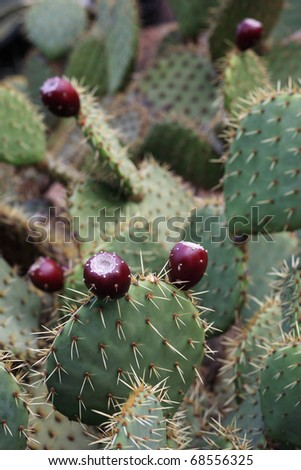 Prickly pear (Opuntia ficus-indica) - stock photo