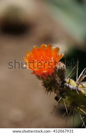 Prickly Pear (Opuntia fragilis) cactus flower, California - stock photo