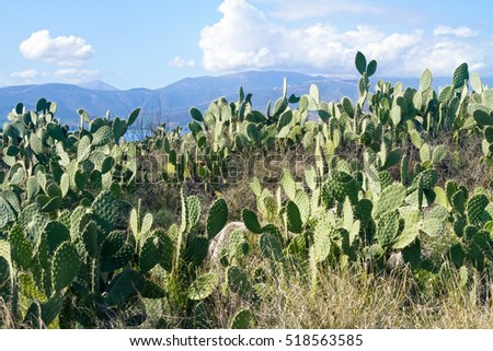 Prickly pears have grown