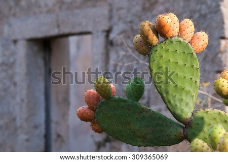 Prickly pears on a cactus plant and an old country house behind them - stock photo