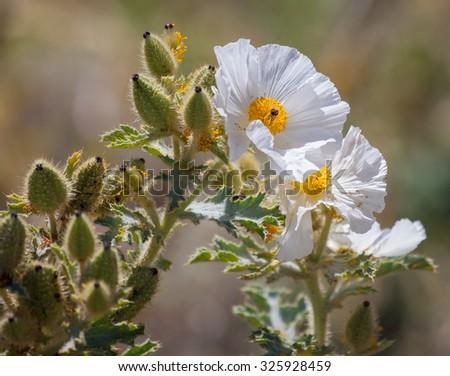 Prickly Poppy (Argemone munita) blooming in the Eastern Sierras - stock photo