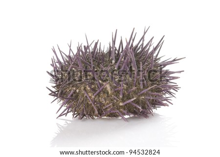 Prickly sea urchin isolated on a white background.
