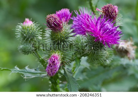 prickly thistle blooming closeup outdoor horizontal
