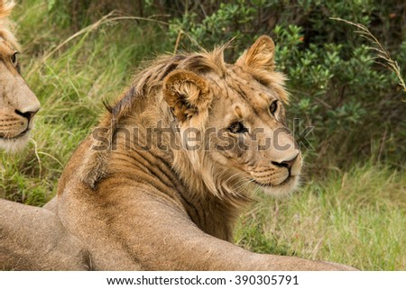 pride of lions nature reserve gondwana south africa