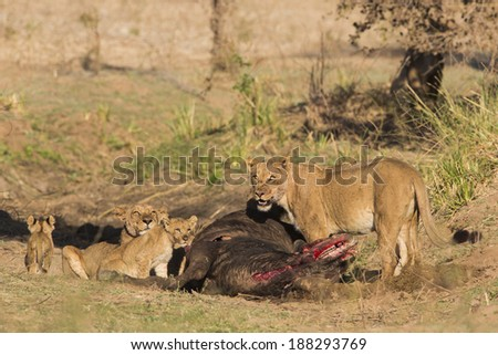 Pride of lions on African Buffalo kill - stock photo