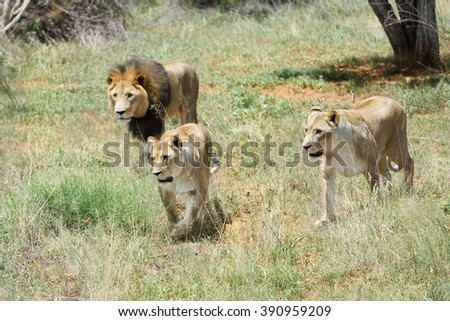Pride of lions on the hunt. Lion and two lioness in the African bush, Namibia - stock photo