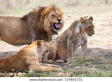 Pride of lions, Serengeti, Tanzania - stock photo