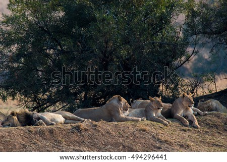 pride of lions waiting for the national park hunting pilanesberg south africa