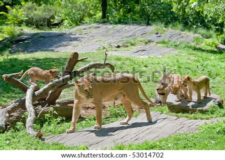 Pride of lions with cubs - stock photo