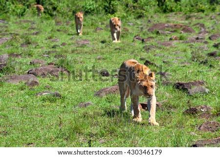 Pride of wild lions walks in savanna - stock photo