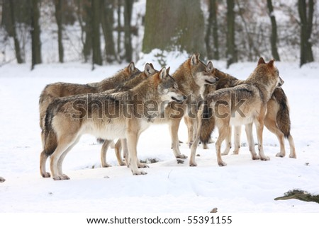 pride of wolfes in winter - stock photo