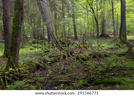 Primeval deciduous stand of Bialowieza Forest in summer withalmost declined spruce tree in foreground - stock photo