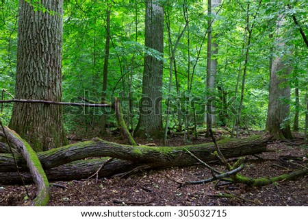 Primeval deciduous stand of natural forest in summertime with huge broken oak branch in foreground,Bialowieza Forest,Poland,Europe - stock photo