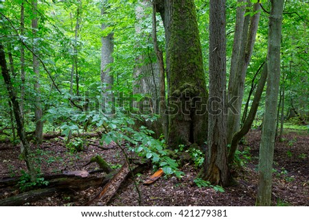Primeval deciduous stand of natural forest in summertime with huge broken oak branch in foreground,Bialowieza Forest,Poland,Europe
