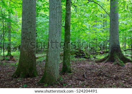 Primeval deciduous stand of natural forest in summertime with huge oak trees in foreground, Bialowieza Forest, Poland, Europe