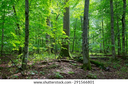 Primeval deciduous stand of natural forest in summertime with huge spruce in foreground - stock photo