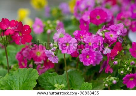 primrose flower closeup - stock photo