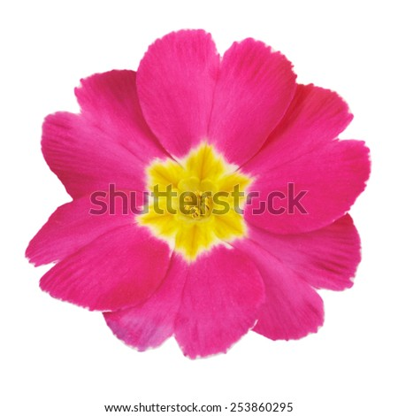 Primrose pink flower isolated on white background - stock photo