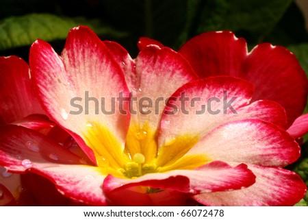 Primrose (Primula) macro - stock photo
