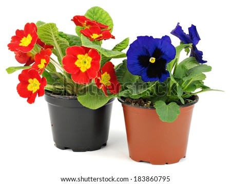 Primula and pansies flowers in plastic pots on a white background  - stock photo