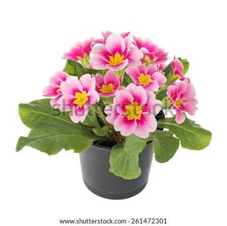 Primula flowers in a flower pot. isolated - stock photo
