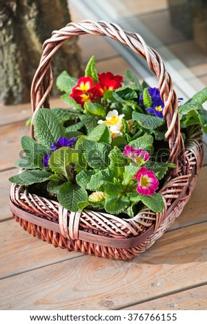 Primula flowers in basket