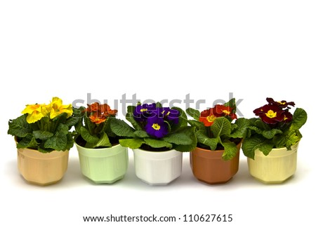 Primula flowers in pots on a white background - stock photo