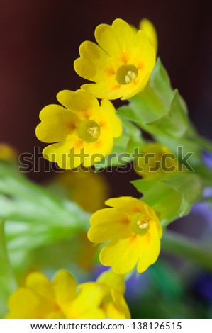 Primula veris - stock photo
