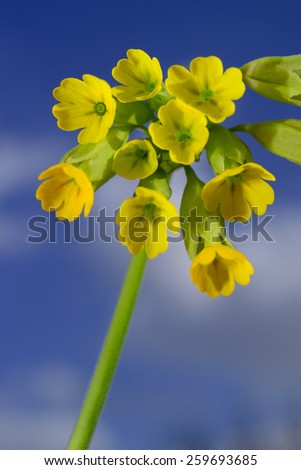 Primula veris on blurry sky background - stock photo