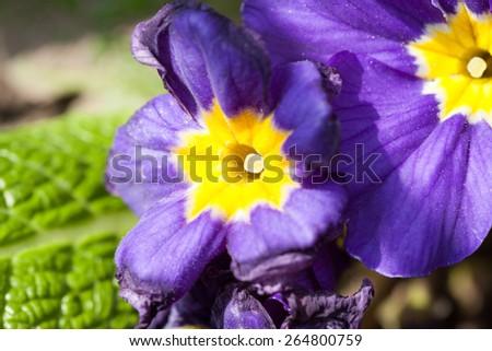 Primula vulgaris - beautiful flowers in the garden - stock photo