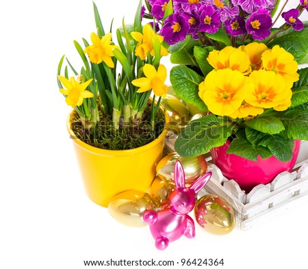 primulas and narcissus in pot on white background. spring flowers with easter decoration - stock photo