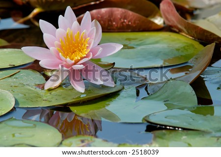 Princess Elizabeth is a hardy deep pink odorata water lily - stock photo
