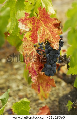 Priorat Grenache in September - stock photo