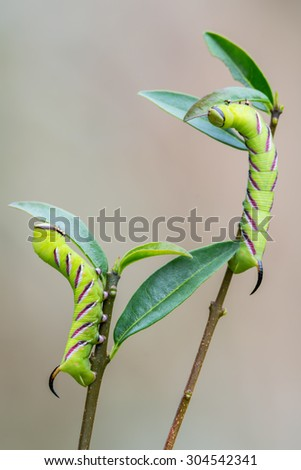 Privet Hawk Moth - Sphinx ligustri - stock photo