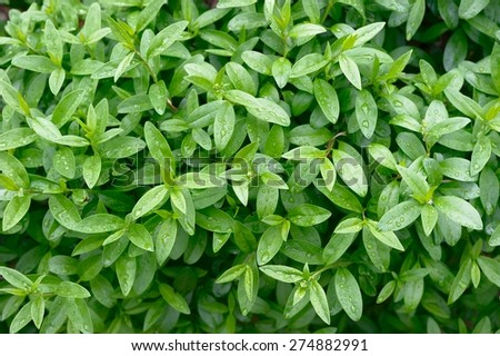 Privet Plant Close Up - stock photo