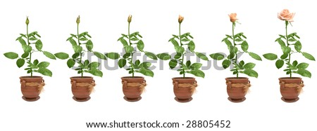 Process of flowering of a rose - stock photo
