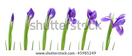 process of opening of am iris flower, isolated on white - stock photo