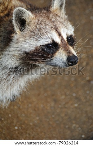 Procyon lotor - stock photo