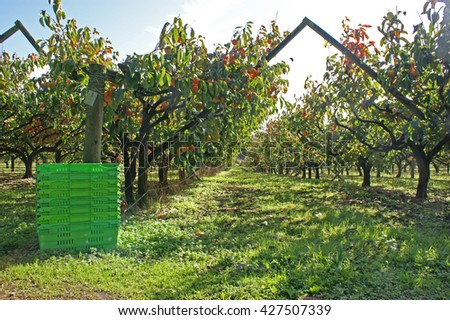 Produce crates ready for the persimmon fruit harvest in a persimmon orchard.  - stock photo