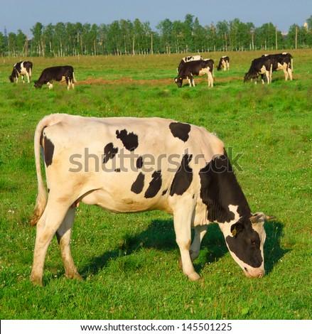Producing Milk Animals Grazing  - stock photo