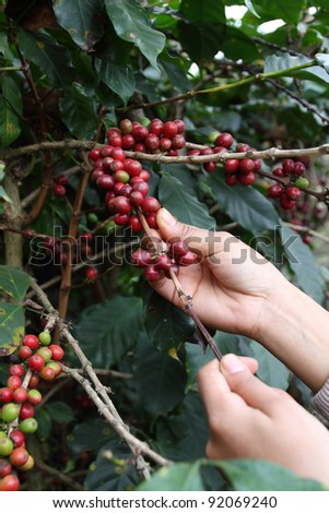 production of coffee beans harvested by hand - stock photo