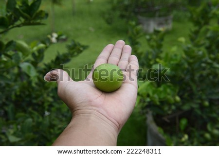Production of Organic lime farm - stock photo
