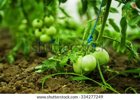 Production of tomatoes in the greenhouse. Shallow depth of field. - stock photo