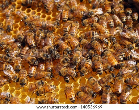 Productive members of a healthy honeybee colony working in their hive. - stock photo