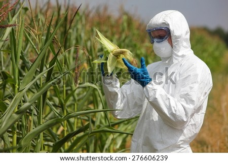 profesional in uniform goggles,mask and gloves examining corn cob on field - stock photo